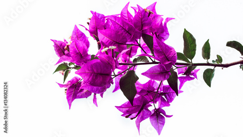 Photographie background Flower Bougainvillea purple