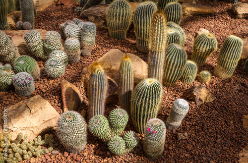 Fotografie, Obraz  Beautiful cactus collection in botanical rocky garden, phallic shaped, decor and