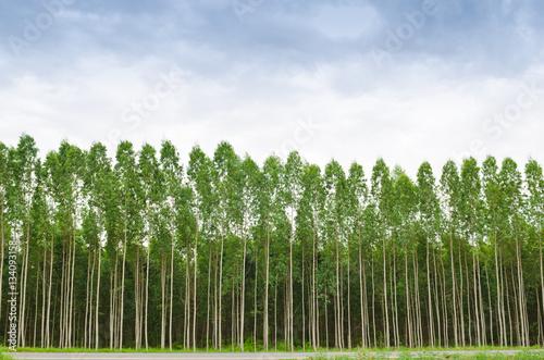 Valokuva  Eucalyptus forest in Thailand