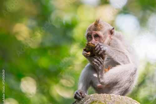 Tuinposter Bali Watchful Monkey