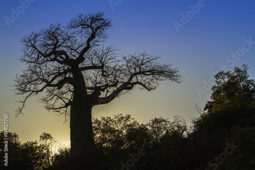 Baobab tree in Kruger National park, South Africa