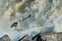 Great Blue Heron Landing At Great Falls