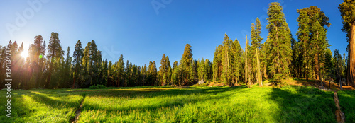 Fototapeten Wald Meadow against huge pine forest panoramic view