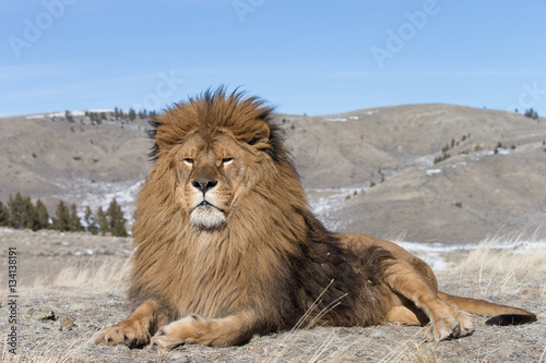 Rare captive Male Barbary Lion