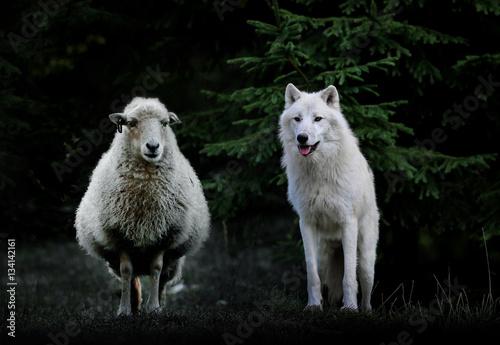 loup mouton brebis attaque troupeau chasse animaux meute berger
