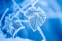 Frosty Leaves In Winter