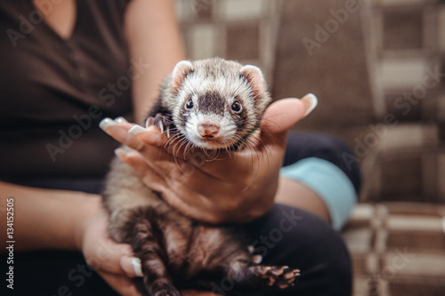 Fotografering  Close up Portrait of Ferret sitting on girl's hand and looking forward