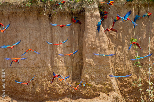 Photo  Wild Macaws flying to Claylick