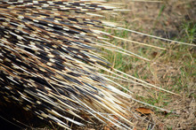 Porcupine Quill Close Up/ Clos...