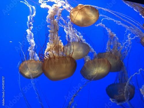 Fotografie, Obraz  Jellyfish