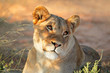 canvas print picture Portrait of an African lioness (Panthera leo), South Africa.