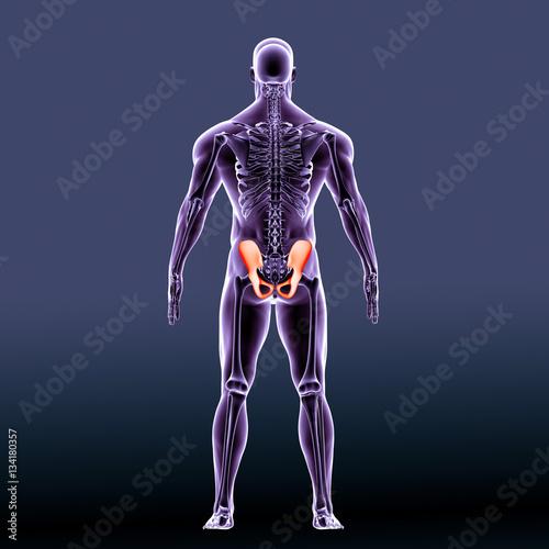 Human Hip Bone Anatomy Illustration  3D render - Buy this