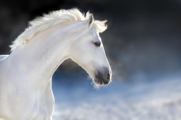 White horse with long mane portrait  in motion in winter day on dark background