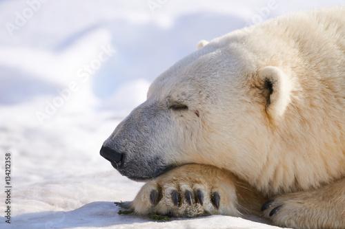 In de dag Ijsbeer 雪の上のシロクマ