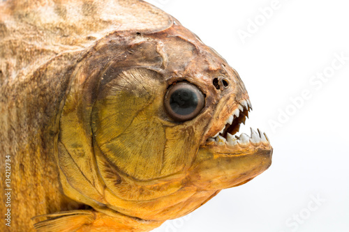 Valokuva  Piranha fish on isolated with white background