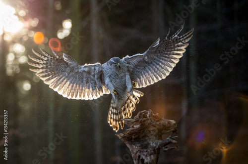 Flying goshawk in the forest. Fototapet