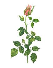 Rose, Pink Flower, Stem And Le...