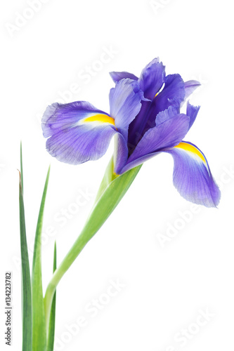 Foto op Plexiglas Iris Iris flower isolated on white, beautiful spring plant.