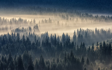 Naklejka coniferous forest in foggy mountains