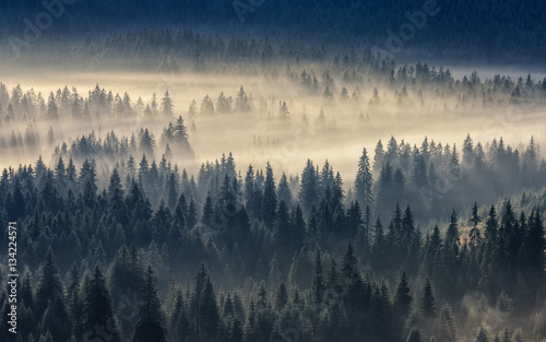 In de dag Beige coniferous forest in foggy mountains