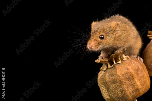 Printed kitchen splashbacks Harvest mouse balanced on a seed pod with black background.