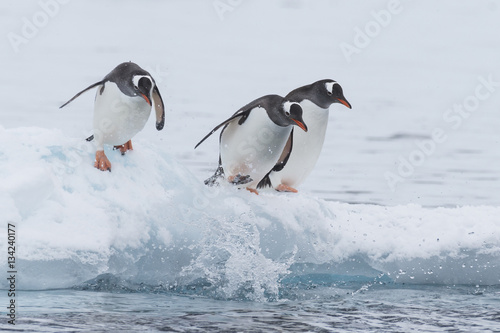 Photo sur Toile Pingouin Gentoo Penguin walk on the snow