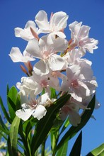White Flower Clusters Of Nerium Oleander Growing In The Sun