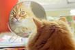Ginger cat, looking in mirror closeup