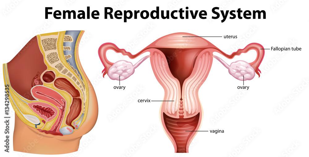 Diagram Showing Female Reproductive System Foto Poster Wandbilder