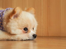Pomeranian Dog Waiting For Its Owner Space For Text