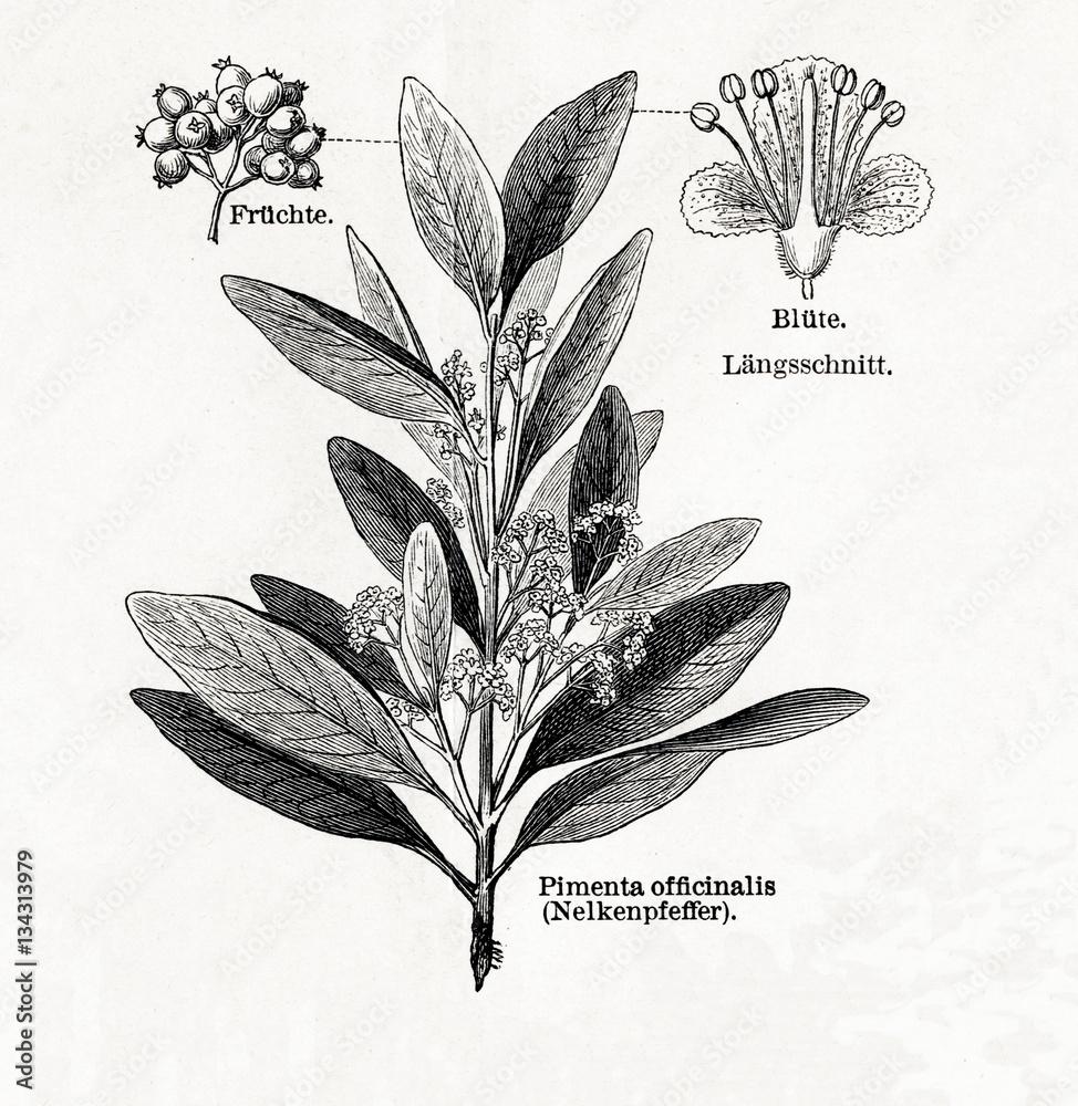 Fototapety, obrazy: Allspice (Pimenta dioica, Pimenta officinalis) (from Meyers Lexikon, 1895, 7/542/543)