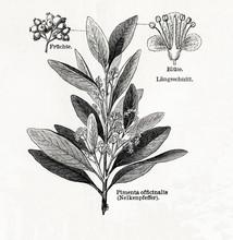 Allspice (Pimenta Dioica, Pime...