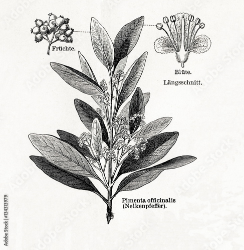 Photo Allspice (Pimenta dioica, Pimenta officinalis) (from Meyers Lexikon, 1895, 7/542