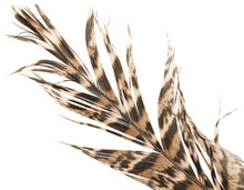 Brown Feather With Black Stripes On A White Background