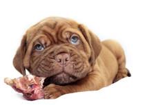 Dogue De Bordeaux - Small Puppy