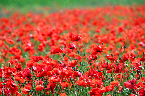 La pose en embrasure Rouge poppies flower meadow spring season nature background