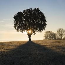 Chêne Solitaire Dans Une Prairie Gelée