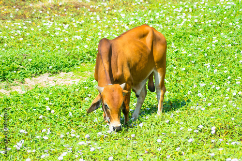 Plakat  red cow on grass field