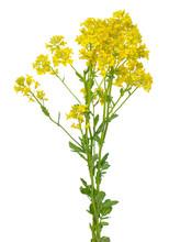 Barbarea Vulgaris Flower
