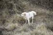 Mastiff dog field