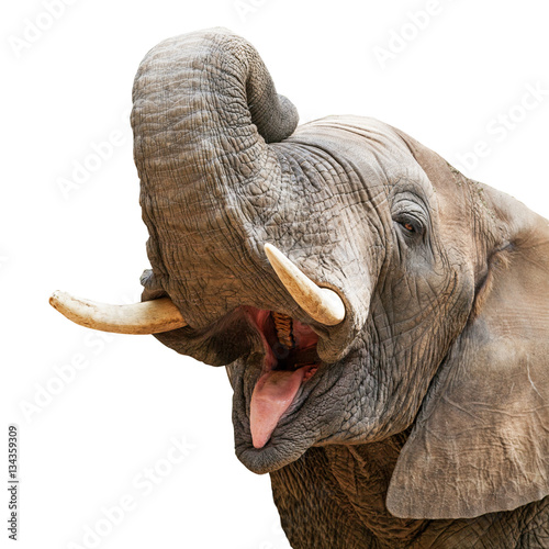 Elephant Mouth Open Trunk Up Closeup Wallpaper Mural