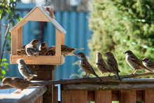 Feeder And Many Sparrows