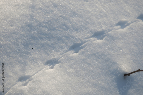 Fotografía  Field mouse trace on snow