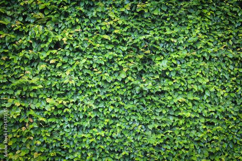 Photo Haie de Charme \ Carpinus Betulus