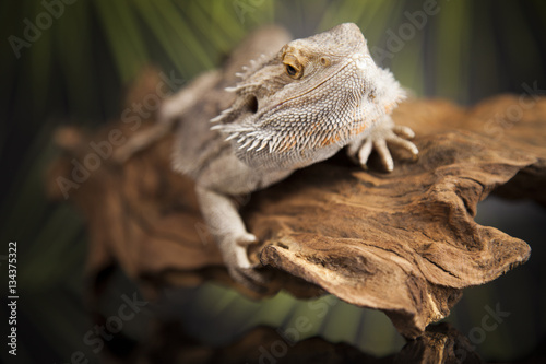 Lizard root, Bearded Dragon on green background