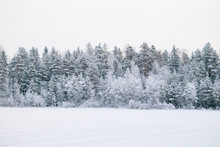 Frosted Pine Trees Along Field