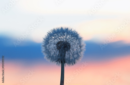 Deurstickers Paardenbloem white fluffy dandelion on a background of the sky tri-color as flag