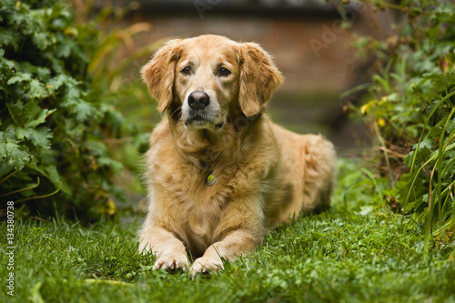 Portrait of a dog looking curious while resting in a garden. Poster