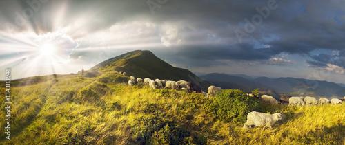 Sheep on a mountain pasture Fototapeta