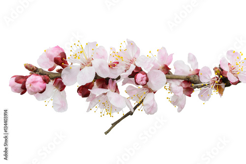 Recess Fitting Orchid Branch of blossoming tree with pink flowers. Spring flowering. I